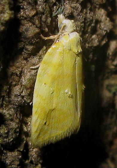 Yellow Moth - Acleris semipurpurana