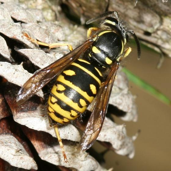 wasp - Vespula acadica
