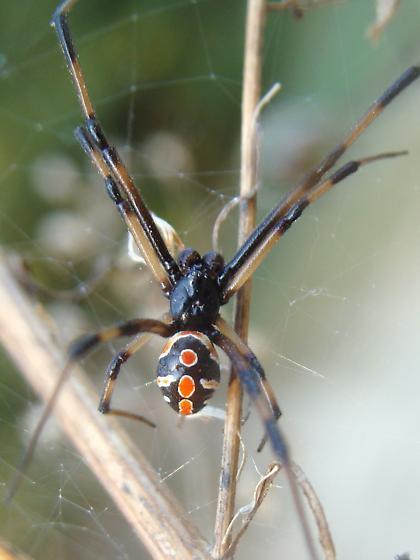 Male Widow Spider - Latrodectus mactans - male