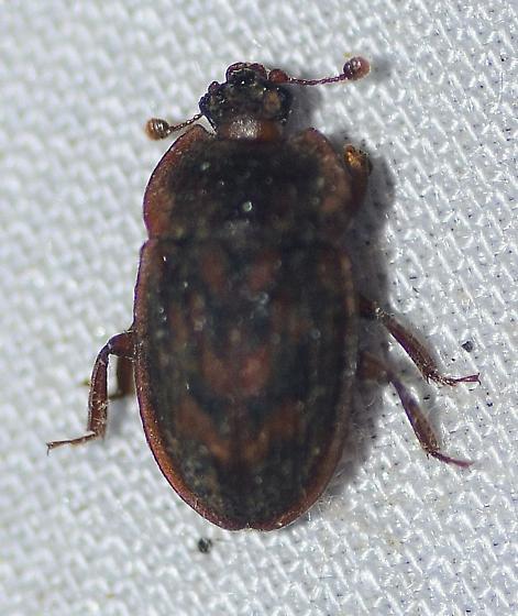 Nitidulidae ? - Phenolia grossa