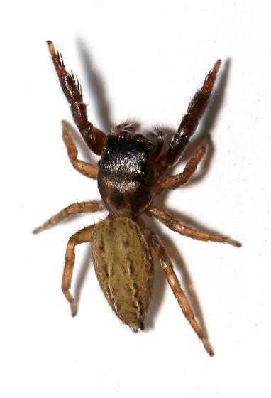 Marpissa what? - dorsal - Marpissa obtusa - female