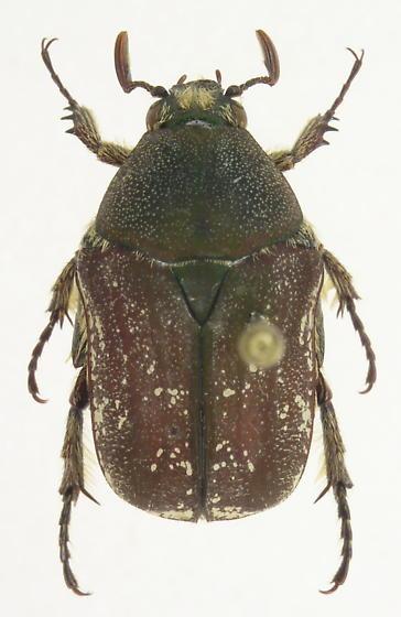 Euphoria herbacea - male