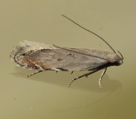 Gelechiidae: Battaristis nigratomella? - Battaristis concinnusella
