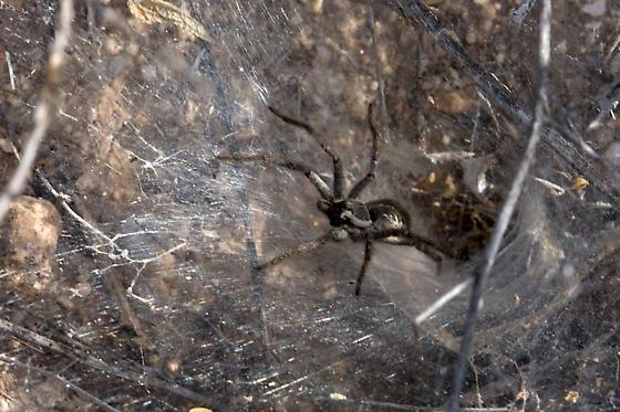 Spider - Sosippus