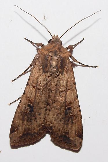 Unknown moth - Peridroma saucia