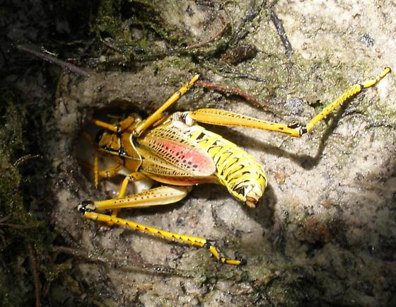 Eastern Lubber Tending Eggs Romalea Microptera Bugguide Net