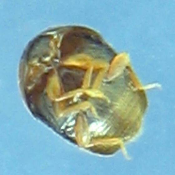 corylophid - Sericoderus lateralis