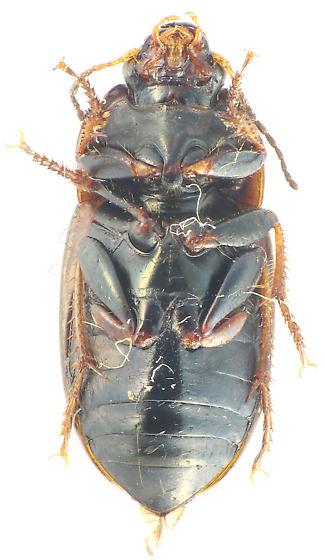 genus Amara? - Anisodactylus caenus