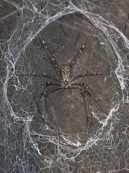 Cave spider - Hypochilus pococki