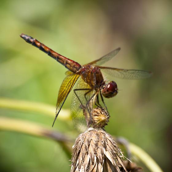 Meadowhawk dragonfly - Sympetrum semicinctum - female