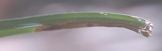 Lake Crabtree leaf miner on Carex D1839 2019 3 - Taphrocerus nicolayi