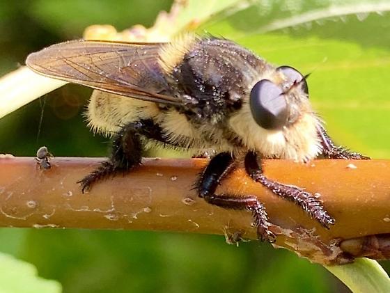 Bumblebee-mimic Robber fly - poss. g. Laphria? - Mallophora fautrix
