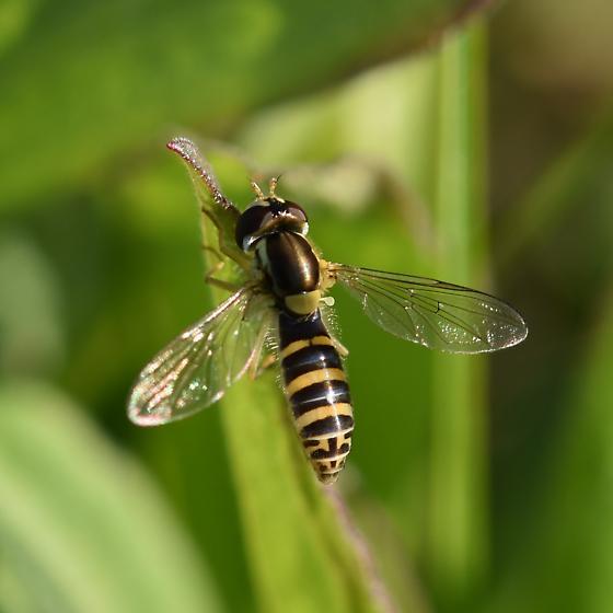 Hover fly species (Sphaerophoria) - Sphaerophoria