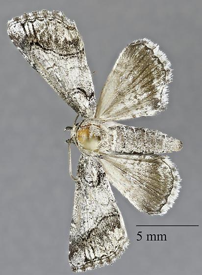 Noctuidae: Neoligia lilloet ? - Paectes