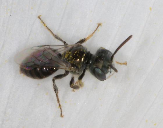Prickly poppy bee 2 - Perdita - female