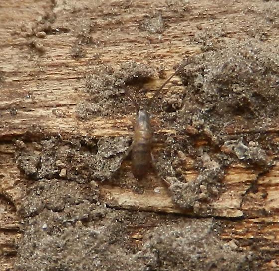 Springtail - Pogonognathellus