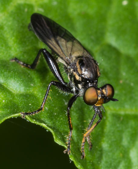 Robber Fly - Eudioctria albius - male