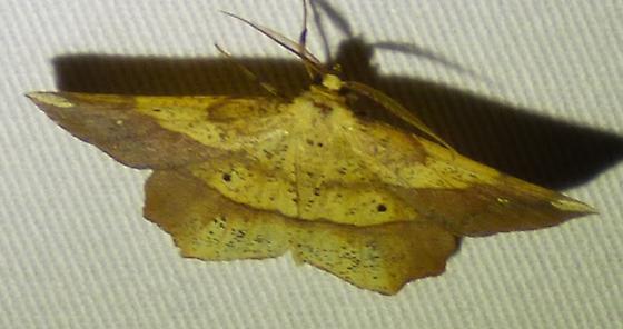 Euchlaena amoenaria Deep Yellow Euchlaena Moth  - Euchlaena amoenaria