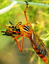 Robber fly ID - Diogmites neoternatus