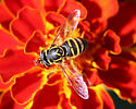Spilomyia Hoverfly - Spilomyia citima