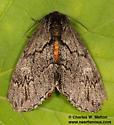 Cargida pyrrha - female