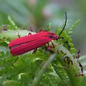 Dictyopterus simplicipes - Dictyoptera simplicipes