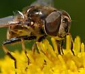 Syrphid Fly - Eristalis dimidiata - male