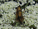 Longhorn Beetle? - Etorofus subhamatus