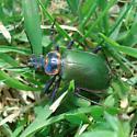 Calosoma scrutator - male
