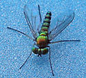 Long-legged Fly - Condylostylus - male