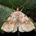 Oxycilla malaca