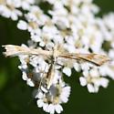Moth - Gillmeria pallidactyla