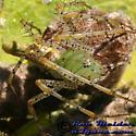 Green Lynx - Peucetia viridans - female