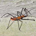 Milkweed Assassin Nymph - Zelus longipes