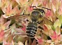 Leaf-cutting Bee -  Megachile - Megachile mendica - male