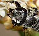 Megachilinae - Megachile - female