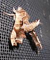 Lettered Sphinx Moth - Deidamia inscriptum