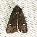 Moth - Apamea