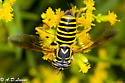 which bee  - Spilomyia longicornis