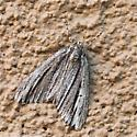 Dark Lines Running Length Of Moth - Carphoides incopriarius