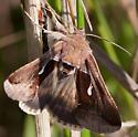 Brown Moth - Anagrapha falcifera