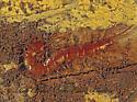 121705 Centipede