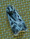 unknown moth1 - Feltia jaculifera