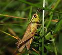 Marsh Meadow Grasshopper - Chorthippus curtipennis - female