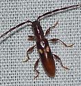 Cerambycidae - Heterachthes quadrimaculatus
