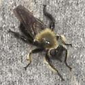 Robber fly - Laphria virginica? - Laphria affinis - female