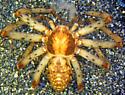 P. spectabilis female with eggs - Philodromus spectabilis - female