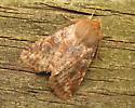 Noctuid moth? - Orthosia rubescens