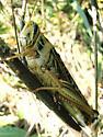 Huge grasshopper - Schistocerca americana - female