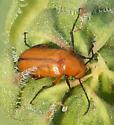 Nemognatha blister beetle? - Nemognatha